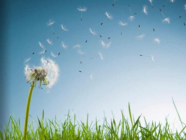 cotton-flower